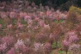 満開の桜峠の大山桜