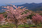 桜峠の大山桜と飯豊連峰