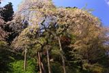 土湯シダレ桜