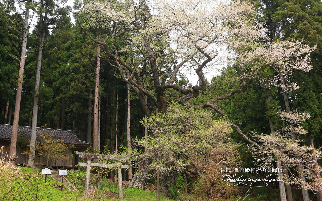 香野姫神社の夫婦ザクラ 壁紙