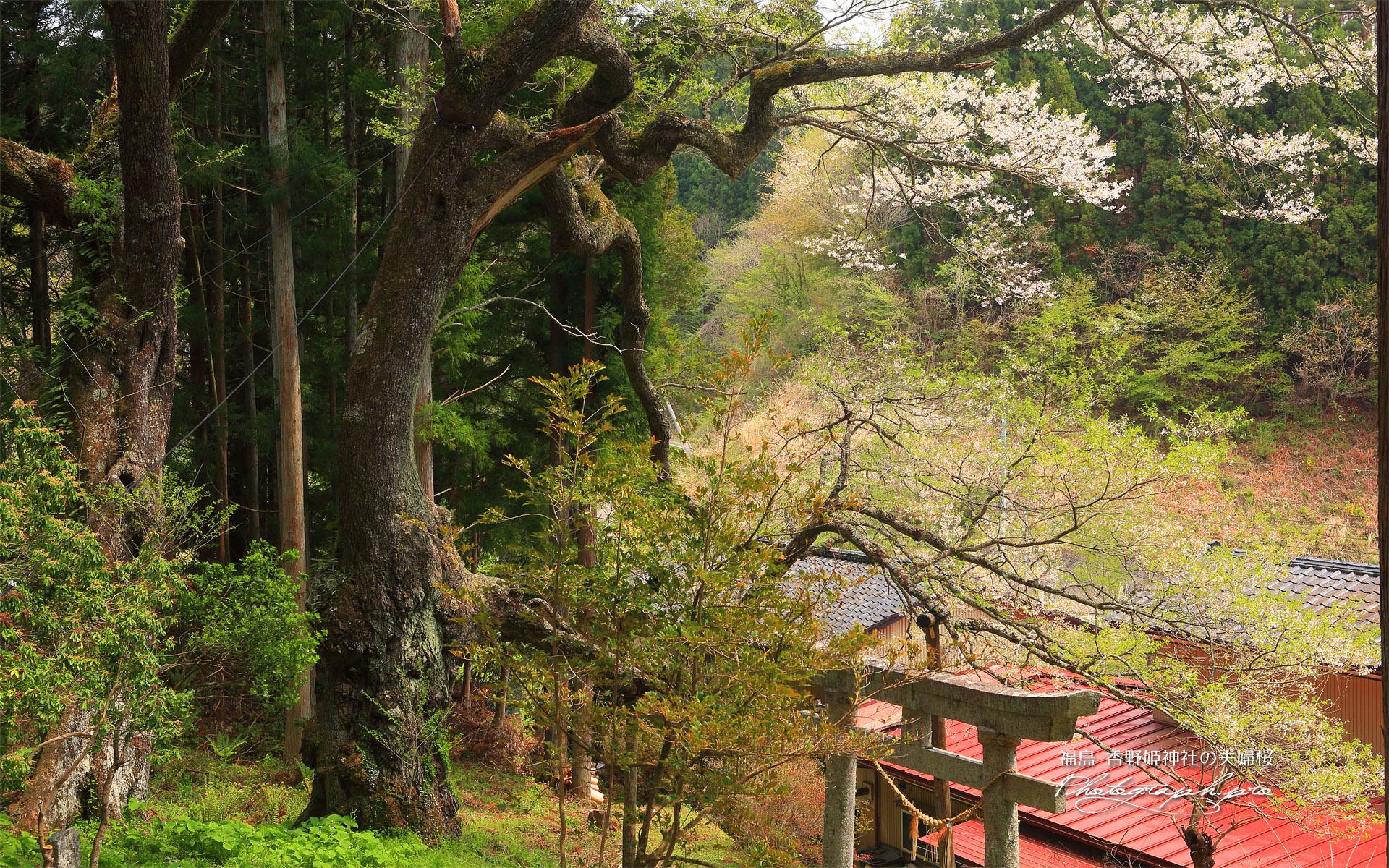 香野姫神社の夫婦ザクラ