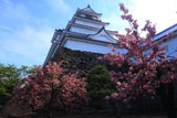 鶴ヶ城 八重の桜