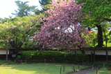 鶴ヶ城 茶室麟閣の八重桜
