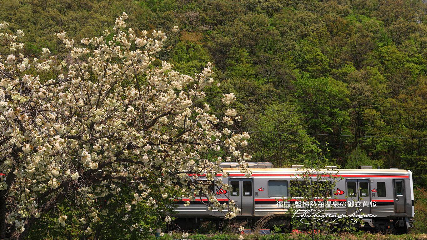 磐梯熱海温泉の御衣黄桜 壁紙
