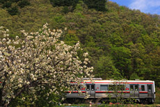 磐梯熱海温泉の御衣黄桜