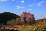 嶽原のオオヤマ桜