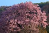 嶽原の大山桜