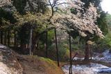 根雪と注連寺の七五三掛桜