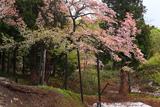 様変わりした注連寺の七五三掛桜