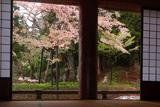 本堂からの注連寺の七五三掛桜
