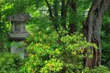 龍華寺 石燈籠とビヨウヤナギ