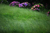 称名寺 草原とアジサイ