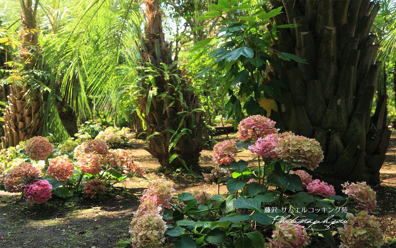 サムエルコッキング苑 紫陽花 壁紙