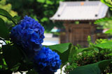 鎌倉霊光寺 紫陽花と山門