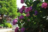 横浜光傳寺 紫陽花