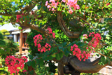 龍華寺の百日紅