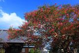 鎌倉本興寺 サルスベリと本堂