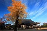 本願寺西山別院 イチョウ黄葉と本堂