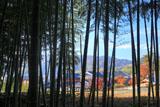 寂照院 竹林越しの紅葉の西山