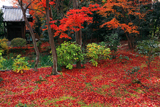 智勝院 庭園の敷紅葉