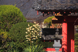 浄泉寺のユッカ蘭