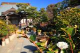 本龍寺の千重咲き山茶花