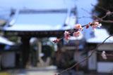 妙蓮寺 御会式桜と雪化粧の山門