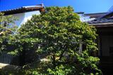 三時知恩寺 中庭の侘助椿