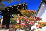 妙顕寺 椿と表門