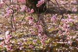 智恵光院 枝垂梅の散花