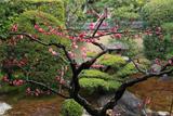 三時知恩寺  庭園の紅梅