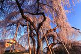 若樫の枝垂れ桜