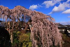 若樫の百滝桜