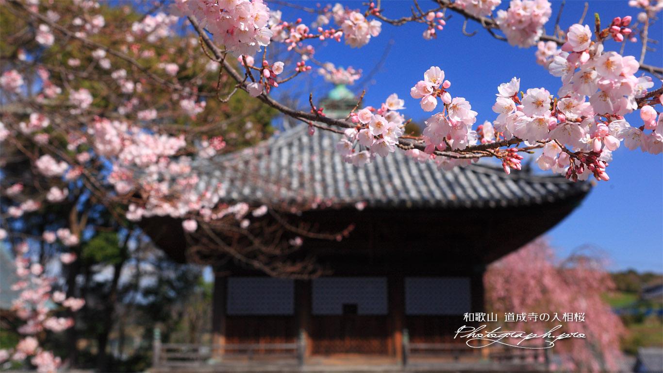 道成寺の入相桜 壁紙
