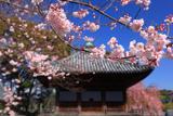 道成寺の入相桜