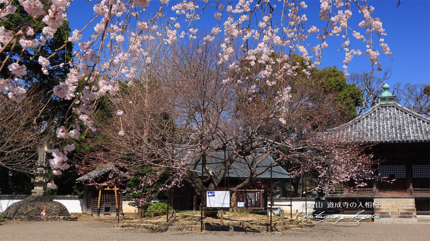 道成寺の入相ザクラ 壁紙