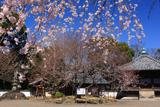 道成寺の入相ザクラ