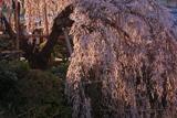 若樫の枝垂桜