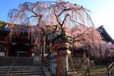 氷室神社のしだれ桜