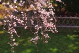 九品寺のしだれ桜