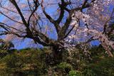 遍照院の枝垂れ桜