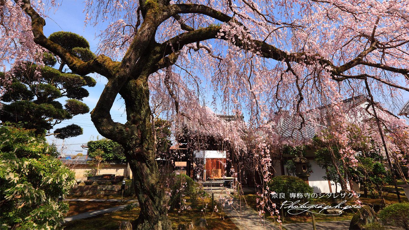 専称寺の枝垂れ桜 壁紙