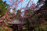弘川寺のすや桜