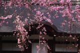 弘川寺の隅屋桜