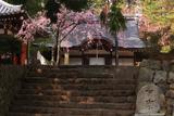 弘川寺のすやざくら