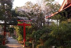 慈眼院の姥桜