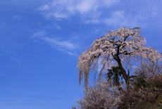 栃本のしだれ桜