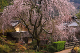 賀名生皇居跡のしだれ桜