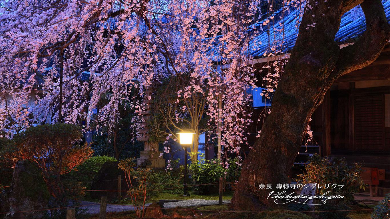 専称寺のしだれ桜 壁紙