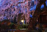 専称寺のしだれ桜